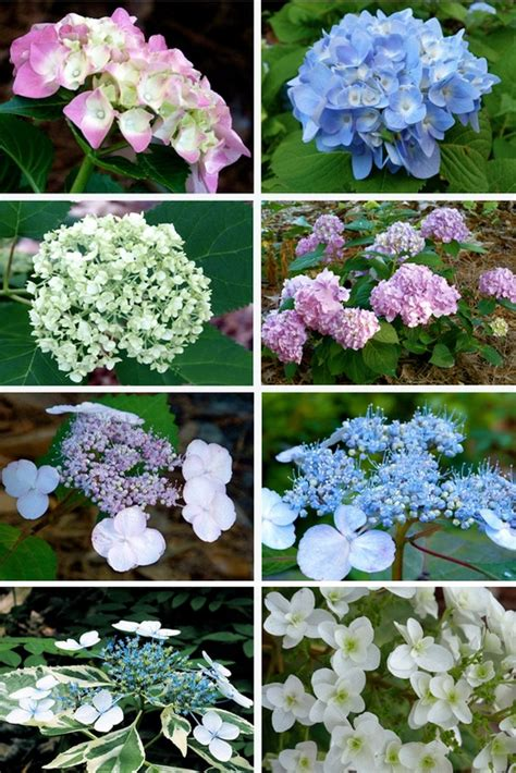 hydrangea flower care the 25 best caring for hydrangeas ideas on pinterest care of hydrangeas hydrangea care and