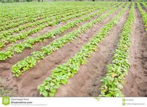 Culture De La Patate Douce : culture de patate douce photo stock image du couleur ~ Carolinahurricanesstore.com Idées de Décoration