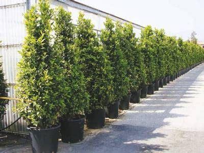 piante da siepe in vaso sempreverdi casa immobiliare accessori pino da siepe
