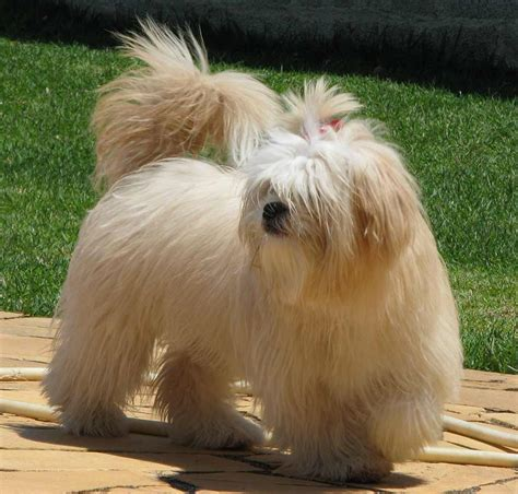 Lhasa Apso Mix Shedding Lhasa Apso Breed 187 Information Pictures More