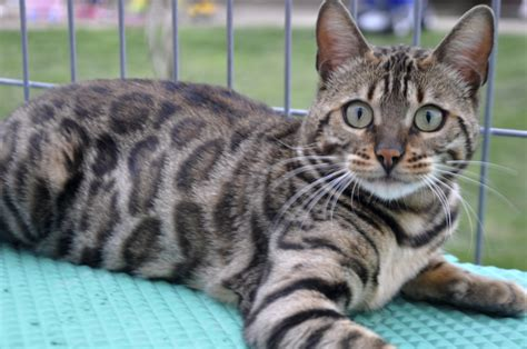 silver bengal cat a beautiful silver bengal cat wallpapers and images