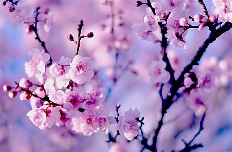 hd cherry blossom wallpapers  desktop designemerald