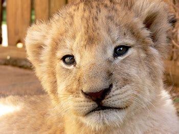 life cycle   lion lesson  kids studycom
