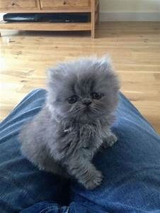 grey blue persian cat | Ooooooo CUTE animals 2 | Pinterest ...
