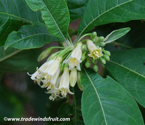 wild tobacco acnistus arborescens seeds