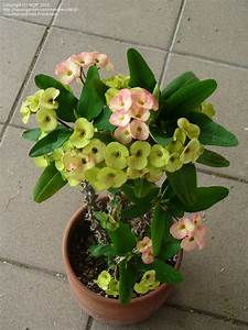 PlantFiles Pictures: Euphorbia Species, Hybrids, Crown of ...