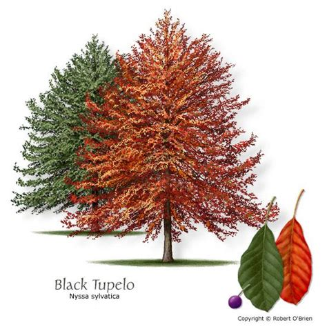 black gum tree blackgum black tupelo texas native reliable fall color attractive seeds or fruit seeds or