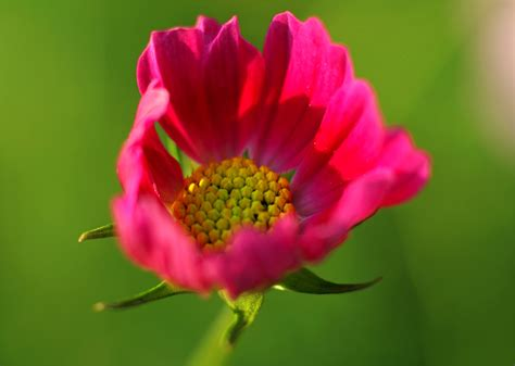 Pink Blooming Peony Flower In Closeup Photography · Free