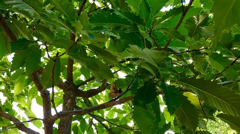 chinkapin oak  tree    arbor day blog