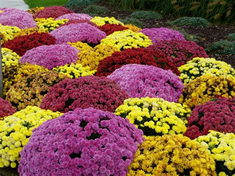 planting fall mums in gardens