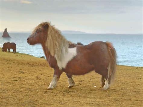 Shetland Pony Centre Of Paternity Battle - BBM Live Travel