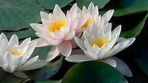 Pflanzen Kübel : seerosen im teich oder k bel pflanzen tipps f r die pflege ~ Pilothousefishingboats.com Haus und Dekorationen