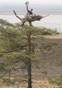 RSPB use decoy osprey nests and 2ft polystyrene birds to ...