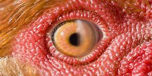 Scientists Look In Chicken U0026 39 S Eye And Discover Weird New