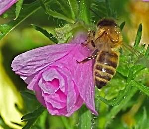 Was Vertreibt Bienen : bienenbl tenfotos 1 welt der bienen ~ Eleganceandgraceweddings.com Haus und Dekorationen