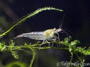 Wild Type Neocaridina