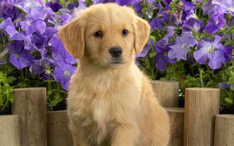 Golden Retriever Puppies Wallpaper Wallpaper Wide Hd