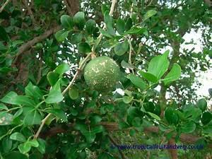 tropicalfruitandveg.com | About Wood Apple