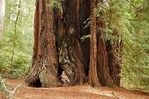 File:Sequoia sempervirens Big Basin Redwoods State Park 5 ...