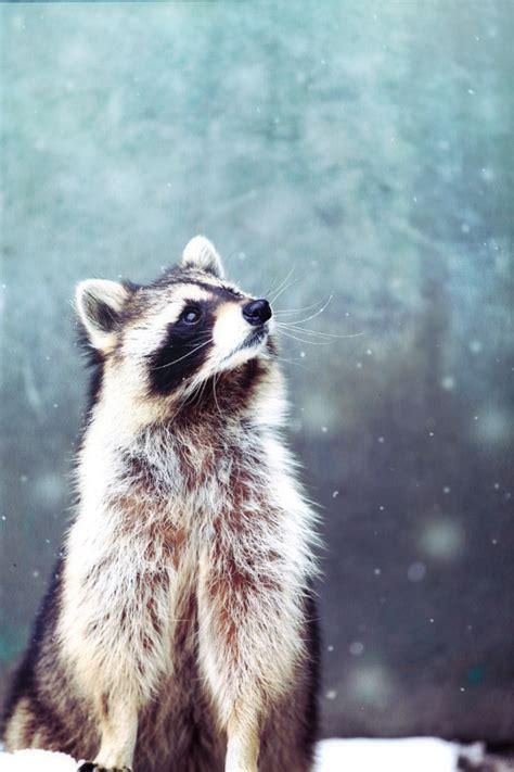 tulipnight raccoon  snow  satoru kobayashi