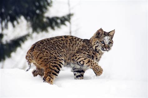 young bobcat playing  snow  melody watson
