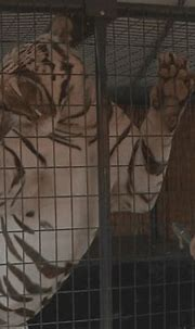 White tiger exhibit makes it to Central Wisconsin State ...
