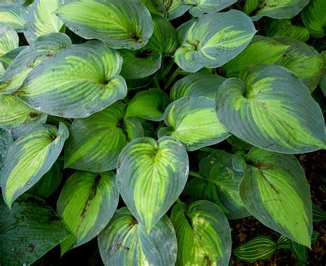 what are hostas hosta tokudama flavocircinalis carolyn s shade gardens