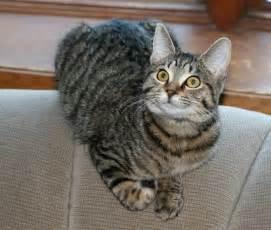 tabby cat breeds cat breed tabby cats types