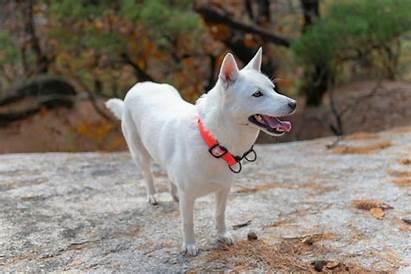 Jindo Dog Korean Breed Dogtime Breeds