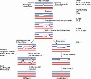 Which Diagram Represents A Pair Of Homologous Chromosomes