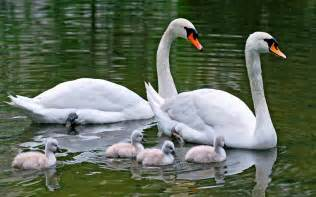 family swans  white swans  young adults swans