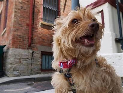 Designer Dogs Breed Dog Rover Quiz Know