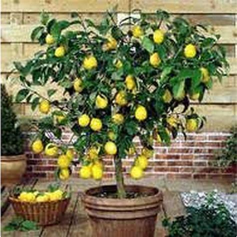 meyer lemon citrus trees perth wa