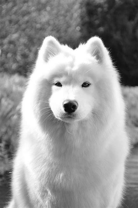 2709 Best Images About Samoyed Dogs On Pinterest
