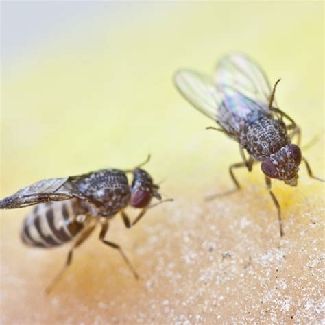 fruit flies fly household kitchen pest pests rid insects planetnatural common banana solver problem them produce summer