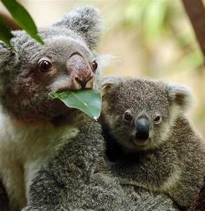 439 best images about koala on Pinterest | Animaux ...