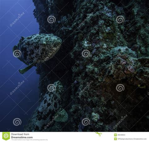 goliath largo spiegel grove key grouper