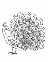 Peacock Coloring Drawing Pages Feather Outline Printable Colouring Cartoon Simple Peacocks Male Adult Sketch Drawings Peafowl Elegant Bird Printables Sheets sketch template