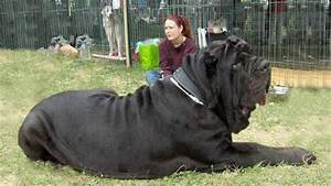 10 Biggest Dogs in the World | Fotolip.com Rich image and ...