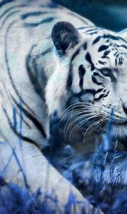 White Tiger Blue Clouds Full HD Wallpaper and Background ...