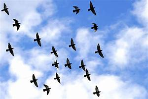 National Geographics: birds flying