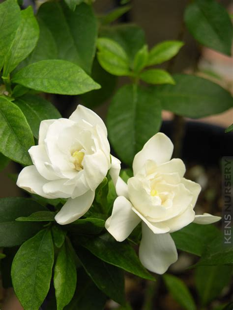 Fragrant Gardenia August Beauty  Kens Nursery