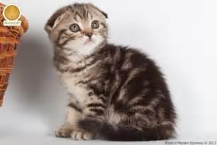 munchkin cat scottish fold munchkin scottish fold cat cats