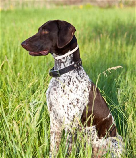 German Shorthaired Pointer Vs Lab Shedding by German Shorthaired Pointer