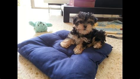 morkie puppies month playing