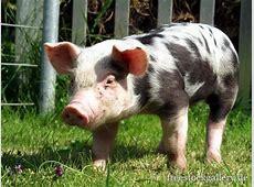 Schweinchen klein und niedlich