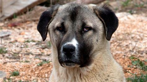 dog kangal anatolian shepherd breed
