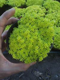 succulent ground cover 25+ Best Ideas about Succulent Ground Cover on Pinterest ...