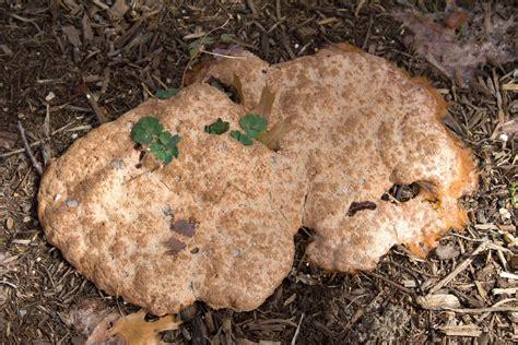vomit fungus top 28 vomit fungus dog vomit fungus flickr photo sharing vomit fungus dog vomit fungus