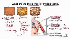 8 4 1 Three Types Of Muscle Tissue